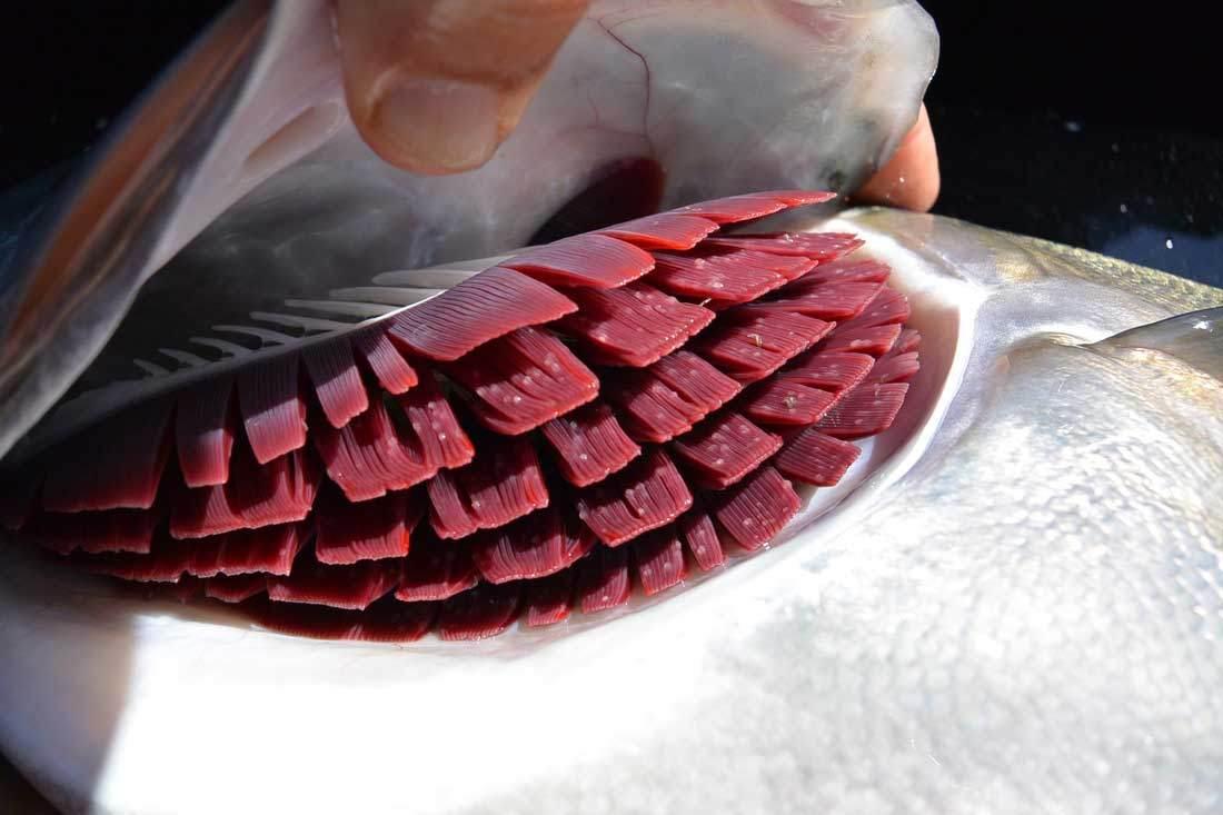 آبشش های ماهی تازه
